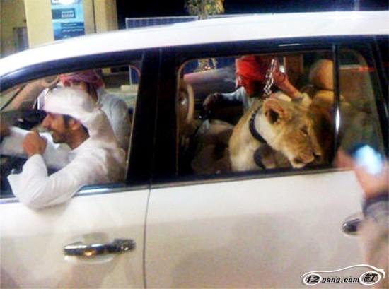 在迪拜,王室都养的宠物不是狮子就是老虎这些猛兽